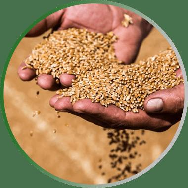 содержание зерна