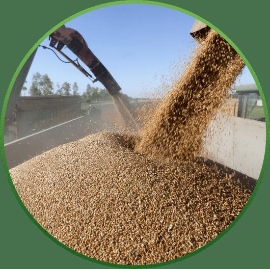 загрузка пшеницы