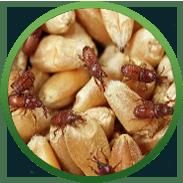 вредители зерна