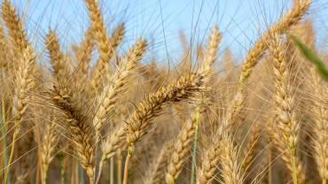 Види хвороб пшениці