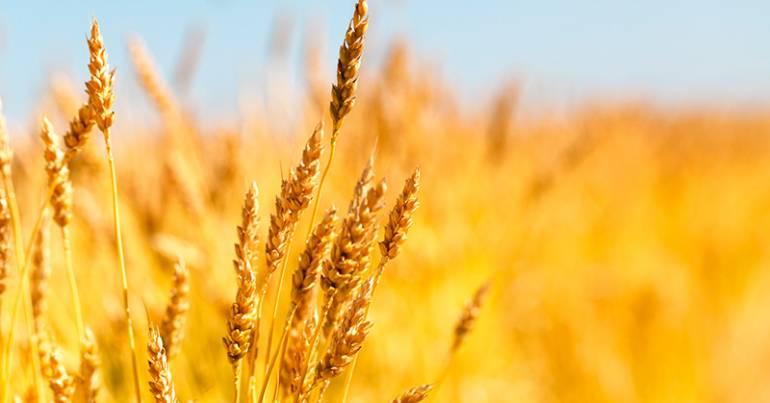 Які вимоги до експортної пшениці